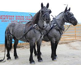 black pinto horse